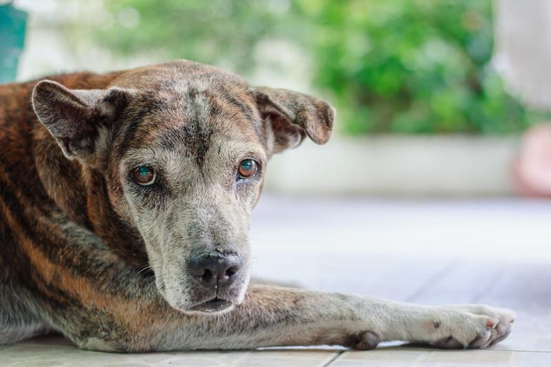 Novo estudo revela que existem semelhanças entre osteoartrite canina e humana