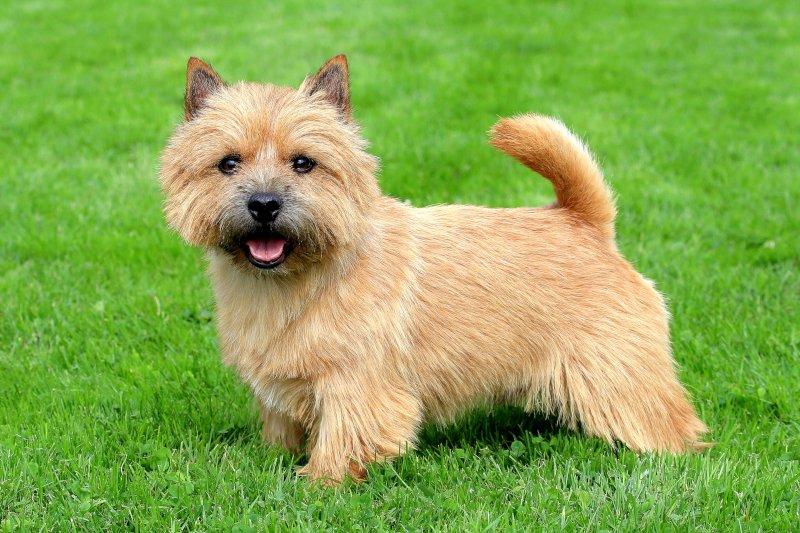 Mutação genética pode ser a causa de problemas respiratórios em cães