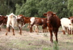 """Elvas recebe seminário sobre 'A falha na transferência da imunidade passiva em vitelos de carne"""""""