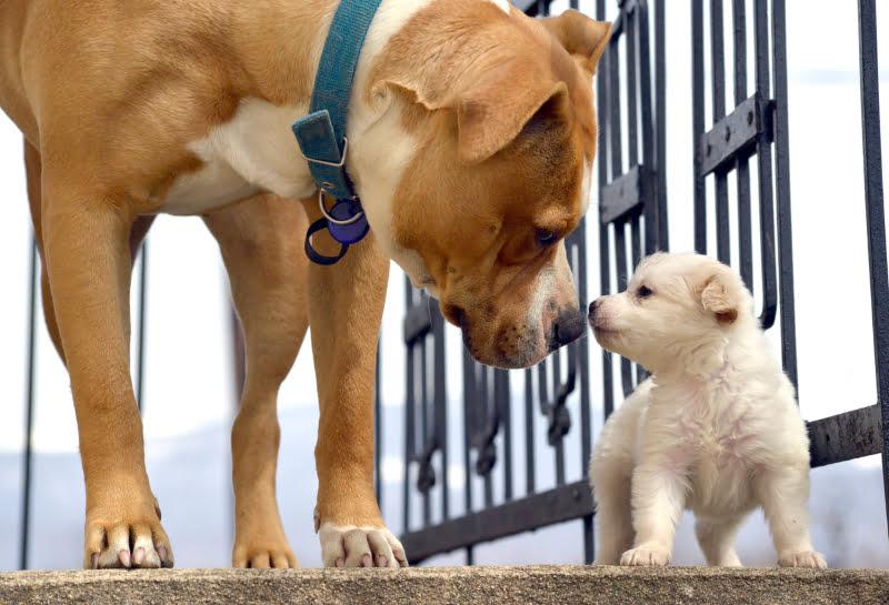 Presença de cachorros contribui para melhoria de comportamento em cães adultos