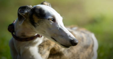 BE e PAN querem proibir corridas de cães