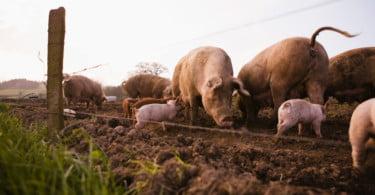 Comissão Europeia demarca novas zonas de risco elevado de peste suína africana
