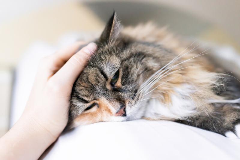 gato veterinária atual