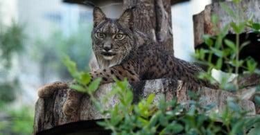 Jardim Zoológico abre portas para dar a conhecer felinos 'à lupa'