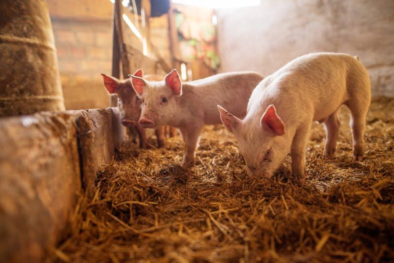 Bulgária acusa turistas romenos de levar peste suína africana para o país
