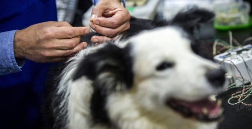 Veterinários acupuntores congratulam OMV pela inclusão da acupuntura como ato médico veterinário