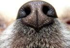 Cães podem detetar cancro noutros cães? Estudo avalia hipótese