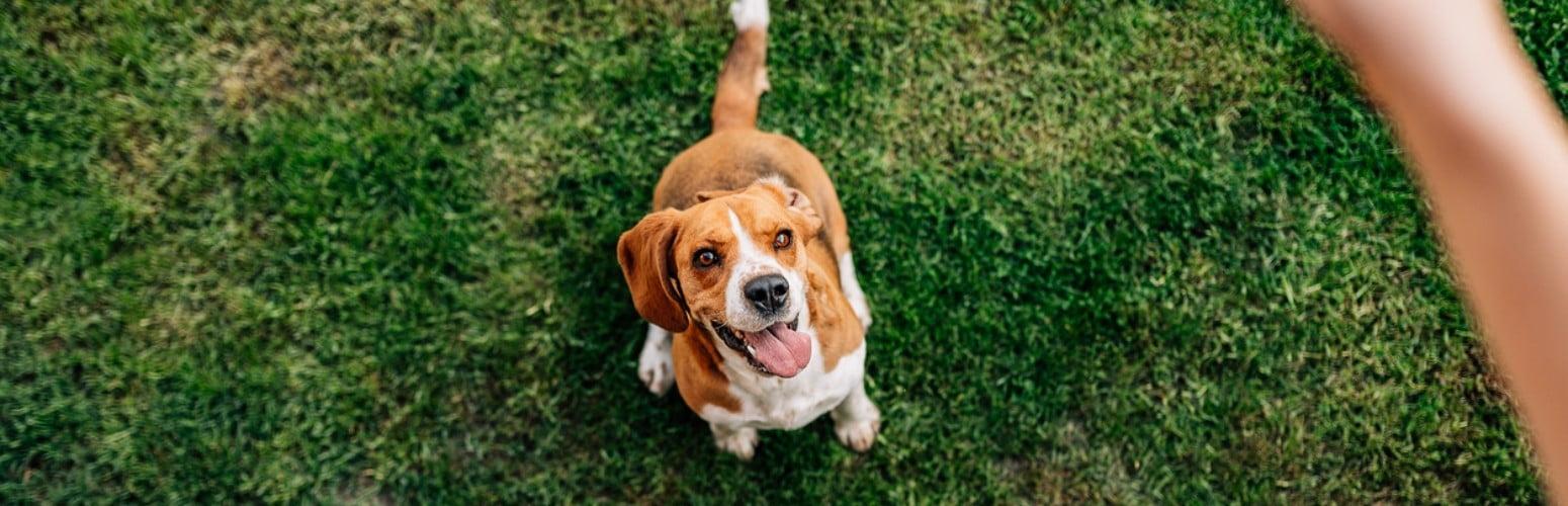 Estudo revela como os humanos moldaram o cérebro dos cães