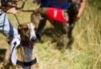 SOS Animal pede fim das corridas de cães em Portugal