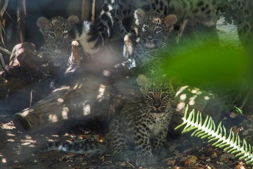 Leopardo da pérsia Jardim Zoologico