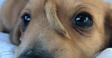Conheça o 'cãonicórnio' que está a fazer as delícias da Internet