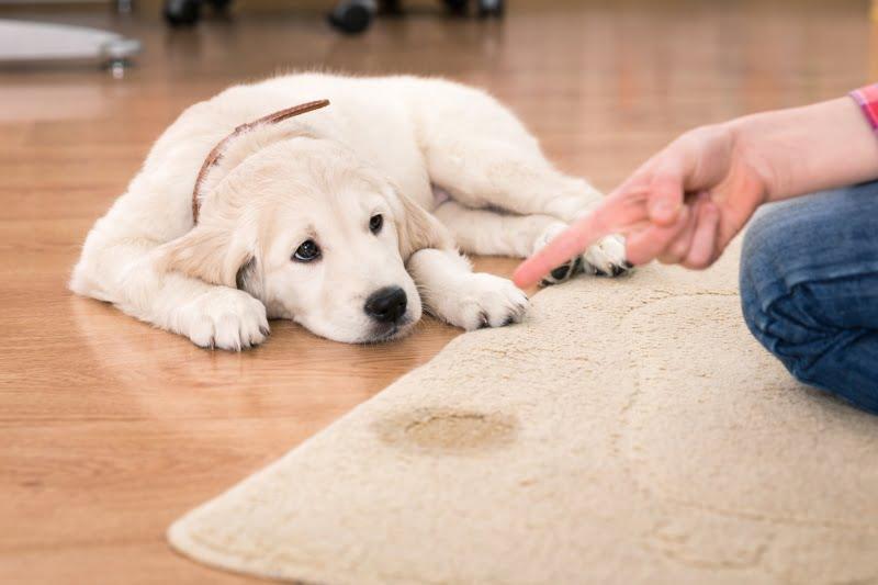Reforço negativo pode ter efeitos na saúde mental do cão, revela estudo liderado por investigadora portuguesa