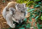 Zoo de Lisboa angaria fundos para ajudar animais na Austrália