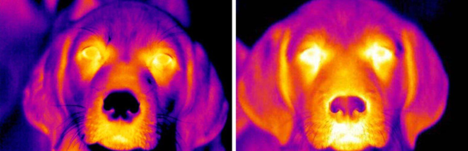 As cores do entusiasmo – imagens térmicas revelam aumento de calor consoante a excitação dos animais