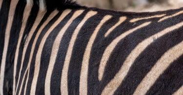 Cientistas pintam riscas de zebra em vacas