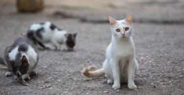 AAFP atualiza diretrizes sobre o retrovírus felino