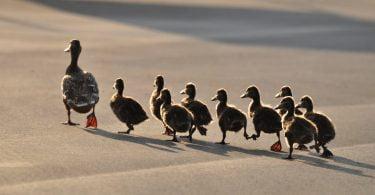 100 mil patos vão ajudar a combater praga de gafanhotos