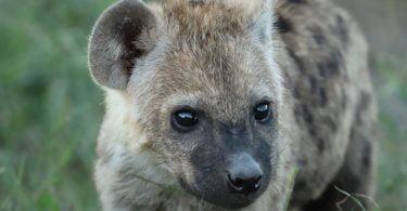 Hiena Malhada nasce no Zoo Santo Inácio