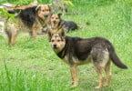 Matilha de cães vadios mata mais de 30 animais em Viana do Castelo