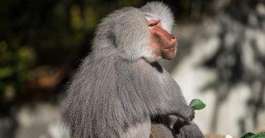 Vet Atual babuinos