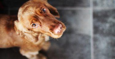 Vet-cães-podem-sofrer-ansiedade