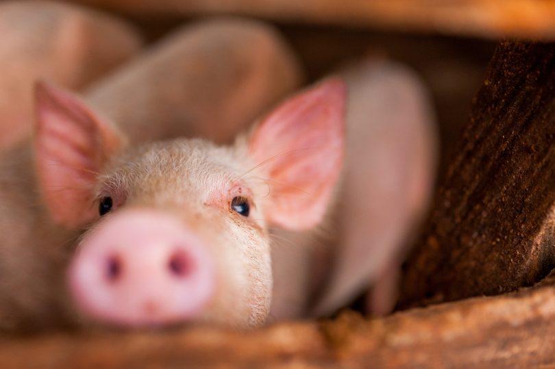 DGAV pede aumento na prevenção perante agravamento da peste suína
