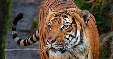 Vet Atual tigre da Malásia