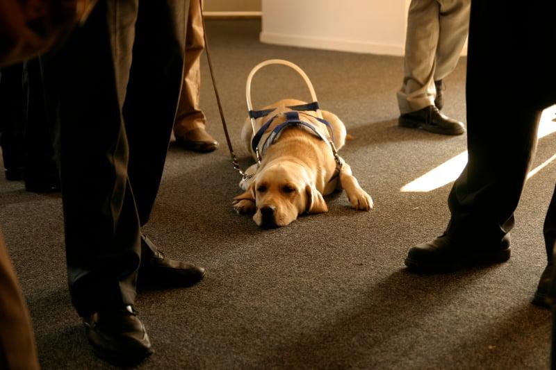 Veterinaria Atual cão guia