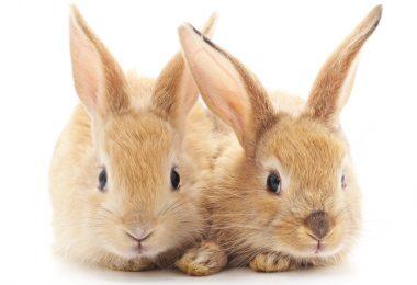 Companheirismo em coelhos reduz stresse e ajuda a manter a temperatura