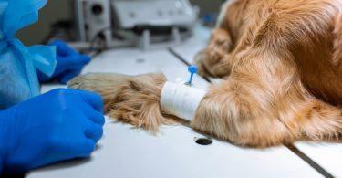 Estudo SIESTA: avaliar a sedação canina pode tornar-se mais fácil
