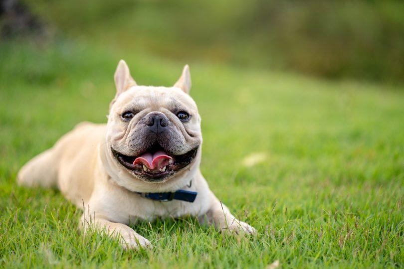 Nova aplicação ajuda detentores a monitorizar insuficiência cardíaca dos animais de companhia