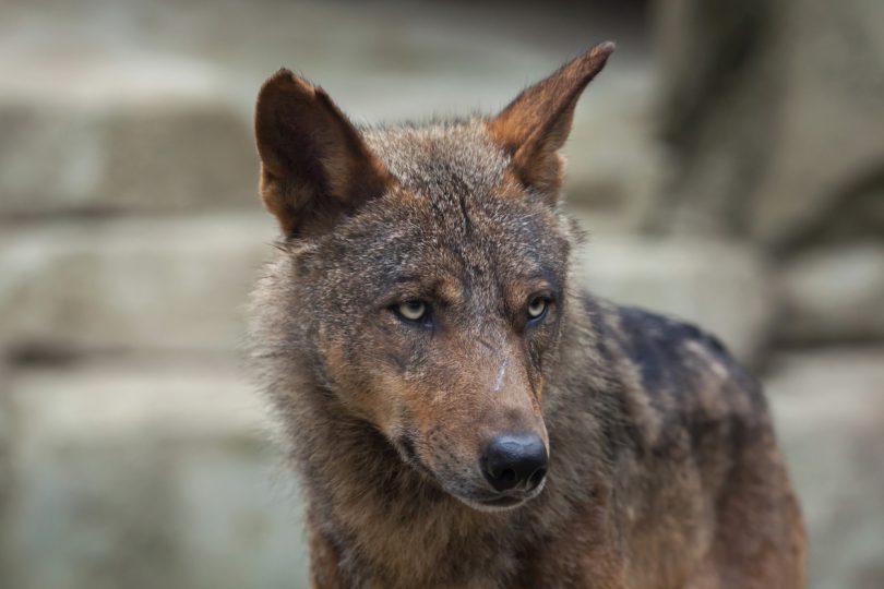 O 'Leão' vai ajudar a salvar o lobo-ibérico