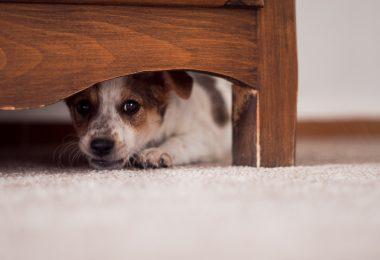 Estudo: cães da cidade são mais medrosos do que os do campo