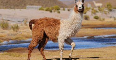 Anticorpos de lamas podem ajudar no combate ao coronavírus