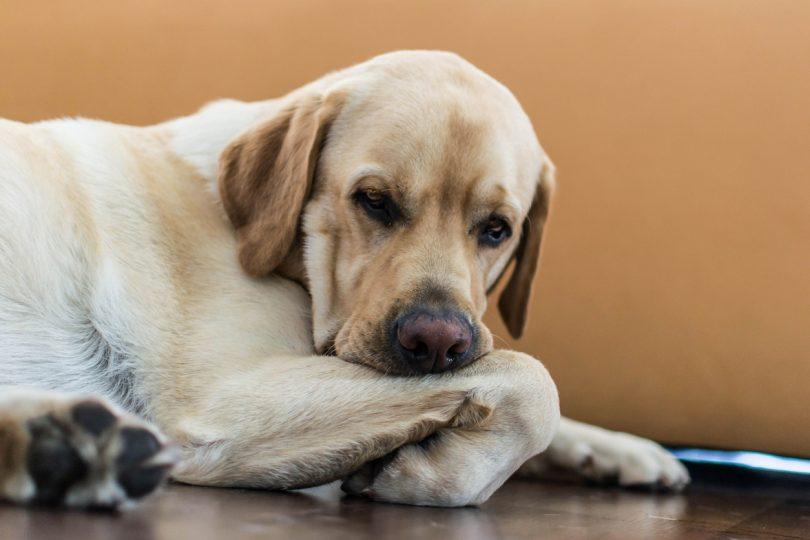 Pode a epilepsia canina ser tratada com a ajuda da nutrição? Estudo diz que sim