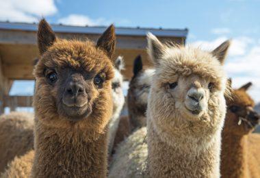 Nova vacina contra o coronavírus está a ser testada em alpacas
