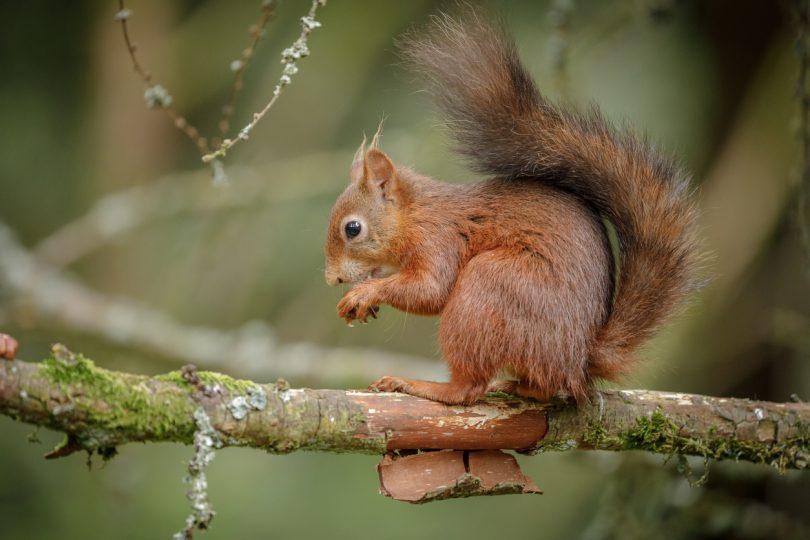 Vírus mortal em esquilos identificado em Portugal