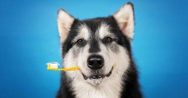 Cão com escova dentes veterinaria atual