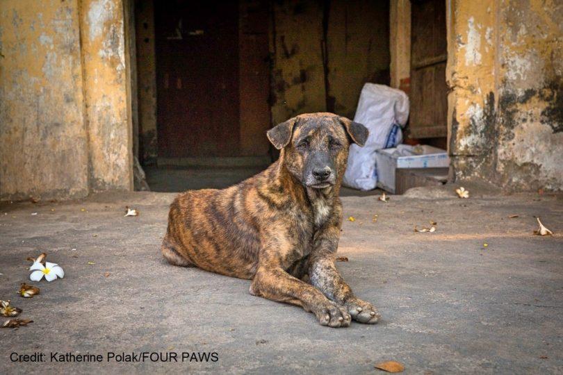 tumor venereo transmissivel canino cao que recuperou