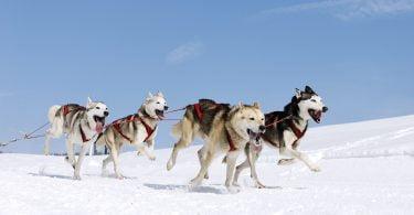 Cães de trenó relacionam-se com seres humanos há mais de 9 500 anos