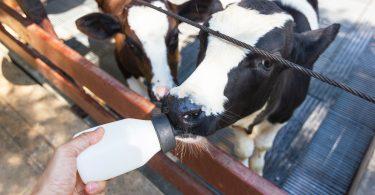 Estudo apoia valor de leite alimentar de transição