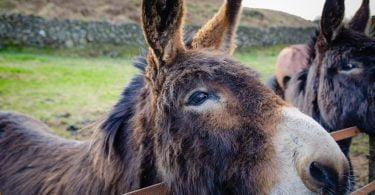 Besnoitiose identificada pela primeira vez em burros no Reino Unido