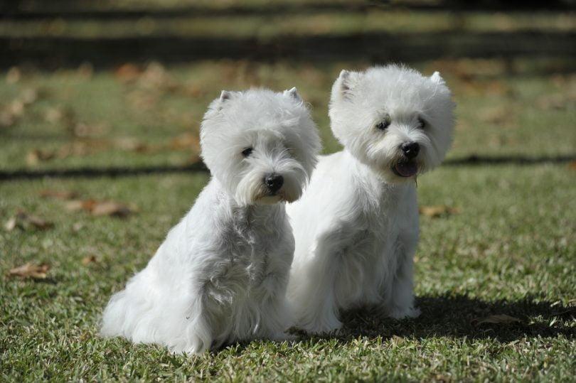 Saiba quais são as raças de cães mais suscetíveis à diabetes