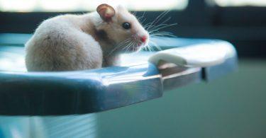 Hamsters desenvolvem imunidade protetora à covid-19, revela estudo