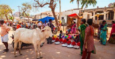 vaca india