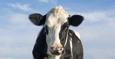 Estudo: leite de vacas alimentadas com erva é mais saudável
