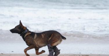Cão militar com membros protésicos distinguido com medalha de mérito