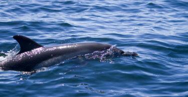 Cetáceos têm alto risco de serem infetados pelo novo coronavírus – conheça os animais mais vulneráveis
