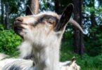 Personalidade das cabras influencia modo como se alimentam