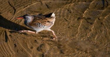 Frango-d'água-europeu